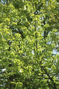 ハンカチの木の写真素材 [FYI00440886]