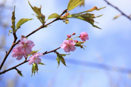 河津桜の素材 [FYI00440887]