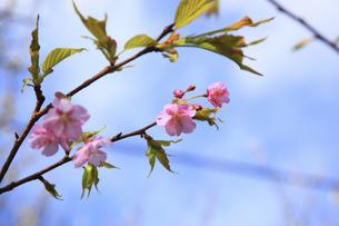 河津桜の写真素材 [FYI00440887]