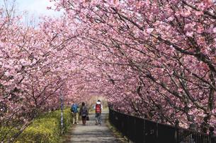 河津桜のトンネルの素材 [FYI00440892]