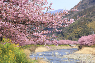 河津桜並木と菜の花の写真素材 [FYI00440893]