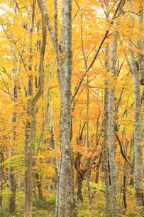白樺林の紅葉の素材 [FYI00440919]