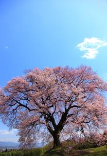 王仁塚の桜の写真素材 [FYI00440946]