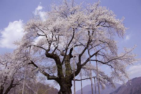 荘川桜の素材 [FYI00440948]