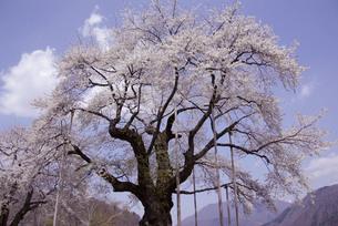 荘川桜の写真素材 [FYI00440948]
