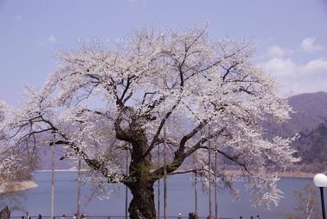 荘川桜の素材 [FYI00440950]