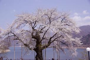 荘川桜の写真素材 [FYI00440950]