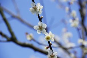 白梅の花の素材 [FYI00440953]