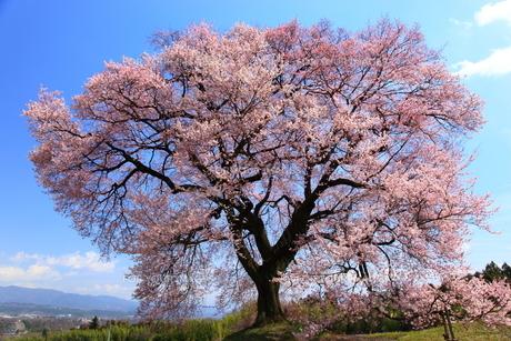 王仁塚の桜の素材 [FYI00440958]