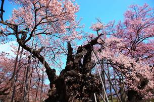 山高神代桜の写真素材 [FYI00440960]