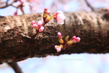 桜のつぼみの素材 [FYI00440973]