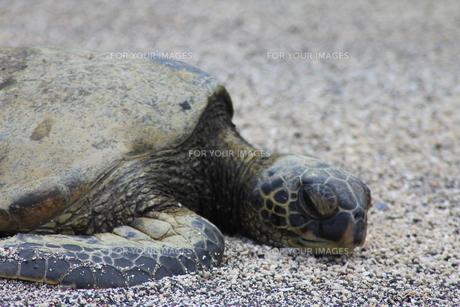 おひるねウミガメの写真素材 [FYI00441110]