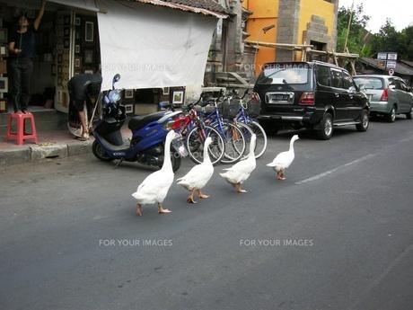 バリ島のアヒルの写真素材 [FYI00441182]
