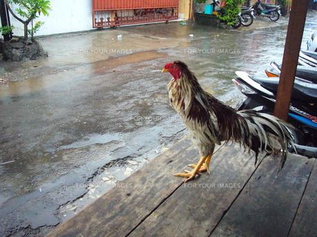 雨の日の鶏の素材 [FYI00441204]