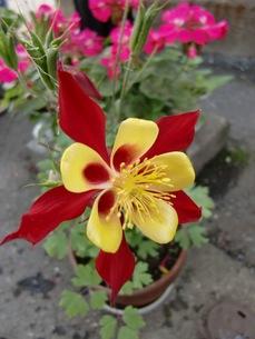 赤と黄色の花の写真素材 [FYI00441226]
