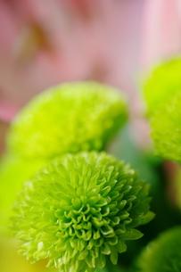 緑の小菊の写真素材 [FYI00441408]