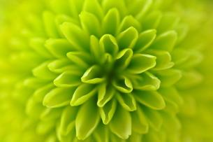 緑の小菊の写真素材 [FYI00441418]