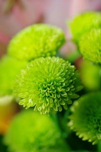 緑の小菊の写真素材 [FYI00441419]