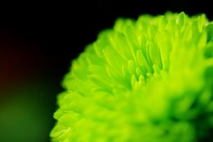 緑の小菊の写真素材 [FYI00441424]