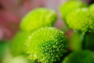 緑の小菊の写真素材 [FYI00441427]
