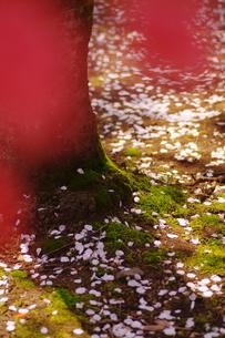 散ったサクラの花びらの素材 [FYI00441428]