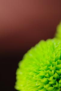 緑の小菊の写真素材 [FYI00441432]