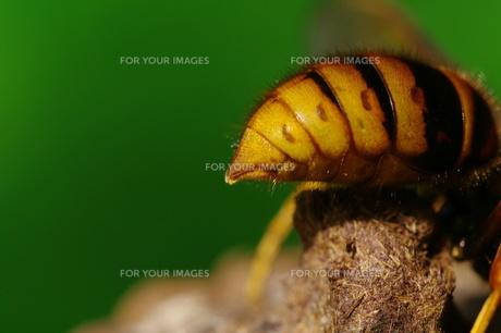 キイロスズメバチの写真素材 [FYI00441542]