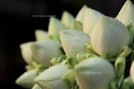 蓮の花束の写真素材 [FYI00441942]