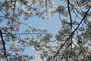 sakuraの写真素材 [FYI00441964]