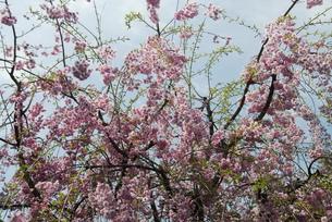 sakuraの写真素材 [FYI00441981]