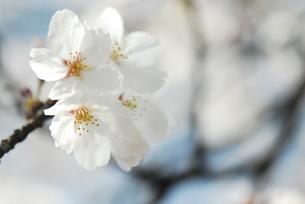 sakuraの写真素材 [FYI00441983]