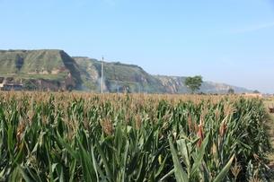 トウモロコシ畑と山の写真素材 [FYI00441991]
