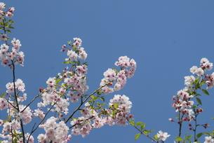 sakuraの写真素材 [FYI00442005]