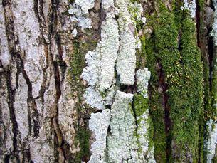 木肌に生えた苔の写真素材 [FYI00442061]