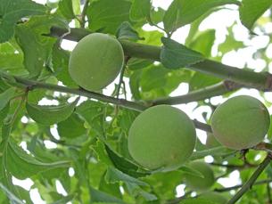梅の実の写真素材 [FYI00442069]