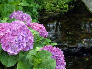 紫陽花の写真素材 [FYI00442073]