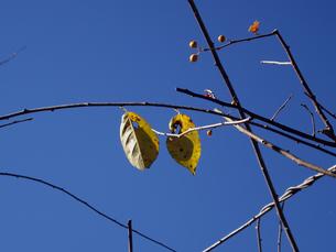 冬空の枯葉の写真素材 [FYI00442087]