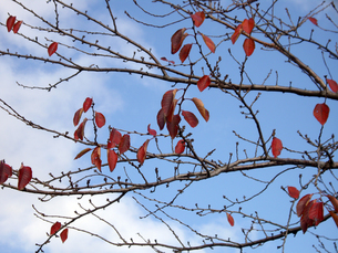 冬空の枯葉の写真素材 [FYI00442090]