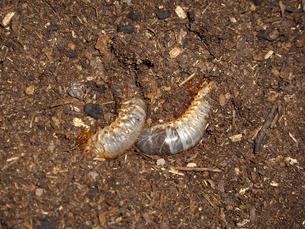 カブトムシの幼虫の写真素材 [FYI00442091]