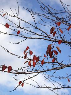 冬空の枯葉の写真素材 [FYI00442093]