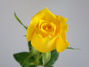 黄色い薔薇の写真素材 [FYI00442099]