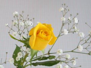 黄色い薔薇とかすみ草の写真素材 [FYI00442101]