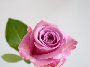 紫色の薔薇の写真素材 [FYI00442103]