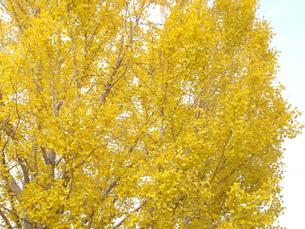 イチョウの大木の写真素材 [FYI00442104]