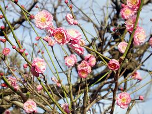 梅の花の写真素材 [FYI00442133]