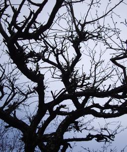梅の木の写真素材 [FYI00442148]