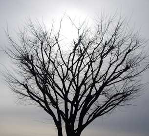 冬の太陽とケヤキの写真素材 [FYI00442151]