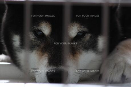 休日の柴犬の写真素材 [FYI00442153]
