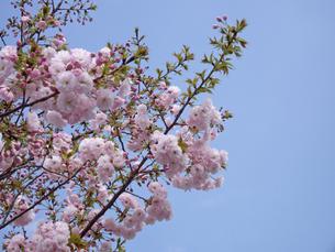 八重桜の写真素材 [FYI00442156]