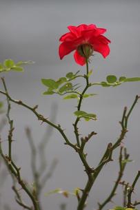 野薔薇の写真素材 [FYI00442161]